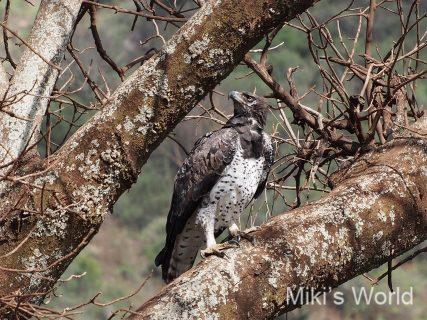 きままに写真集 タンザニアの鳥