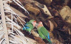 アリゾナ州の鳥になったコザクラインコ アリゾナ州でも見られるます
