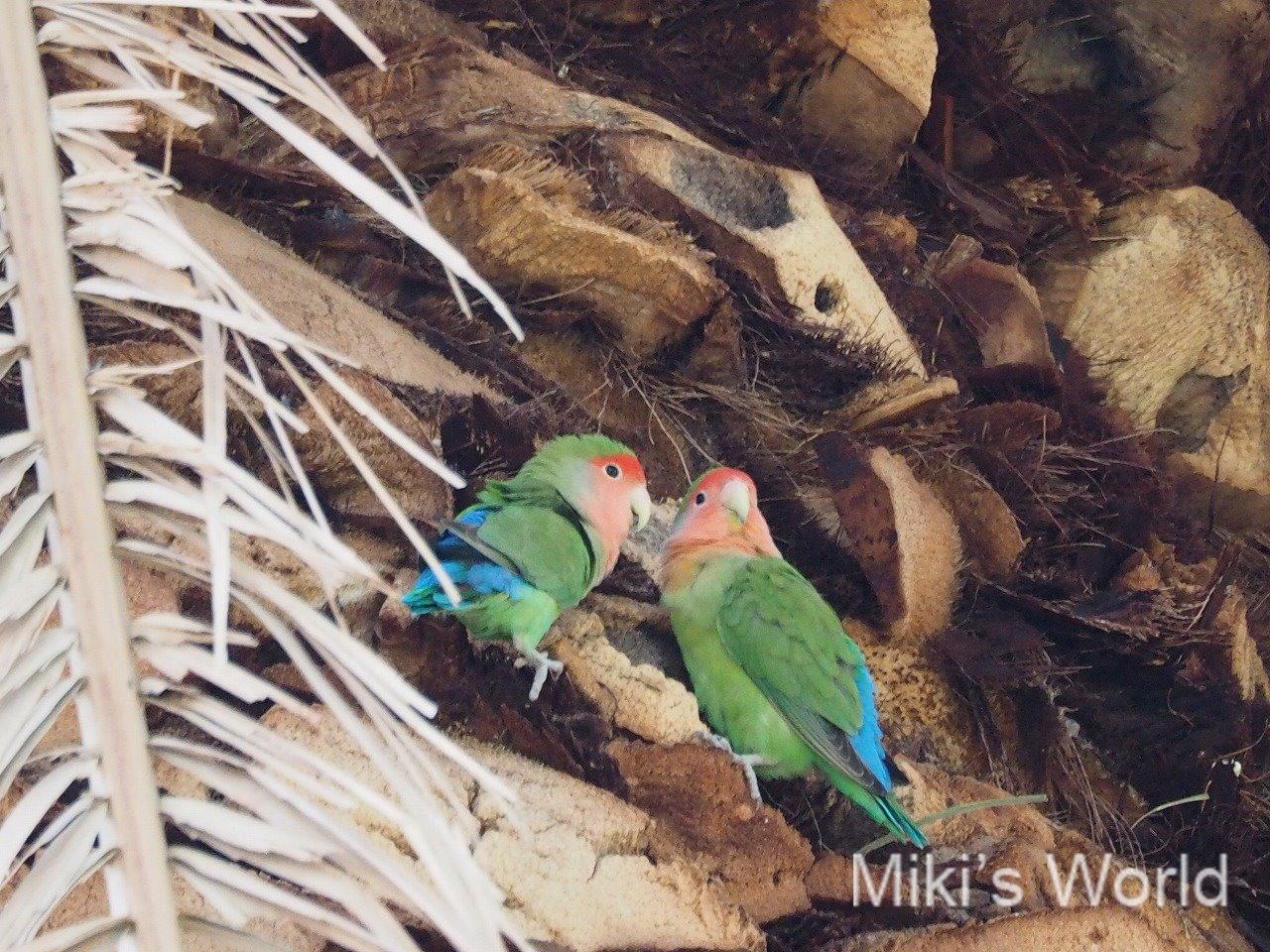 野生のコザクラインコ 2015年アリゾナ州の鳥になった移入種コザクラインコ