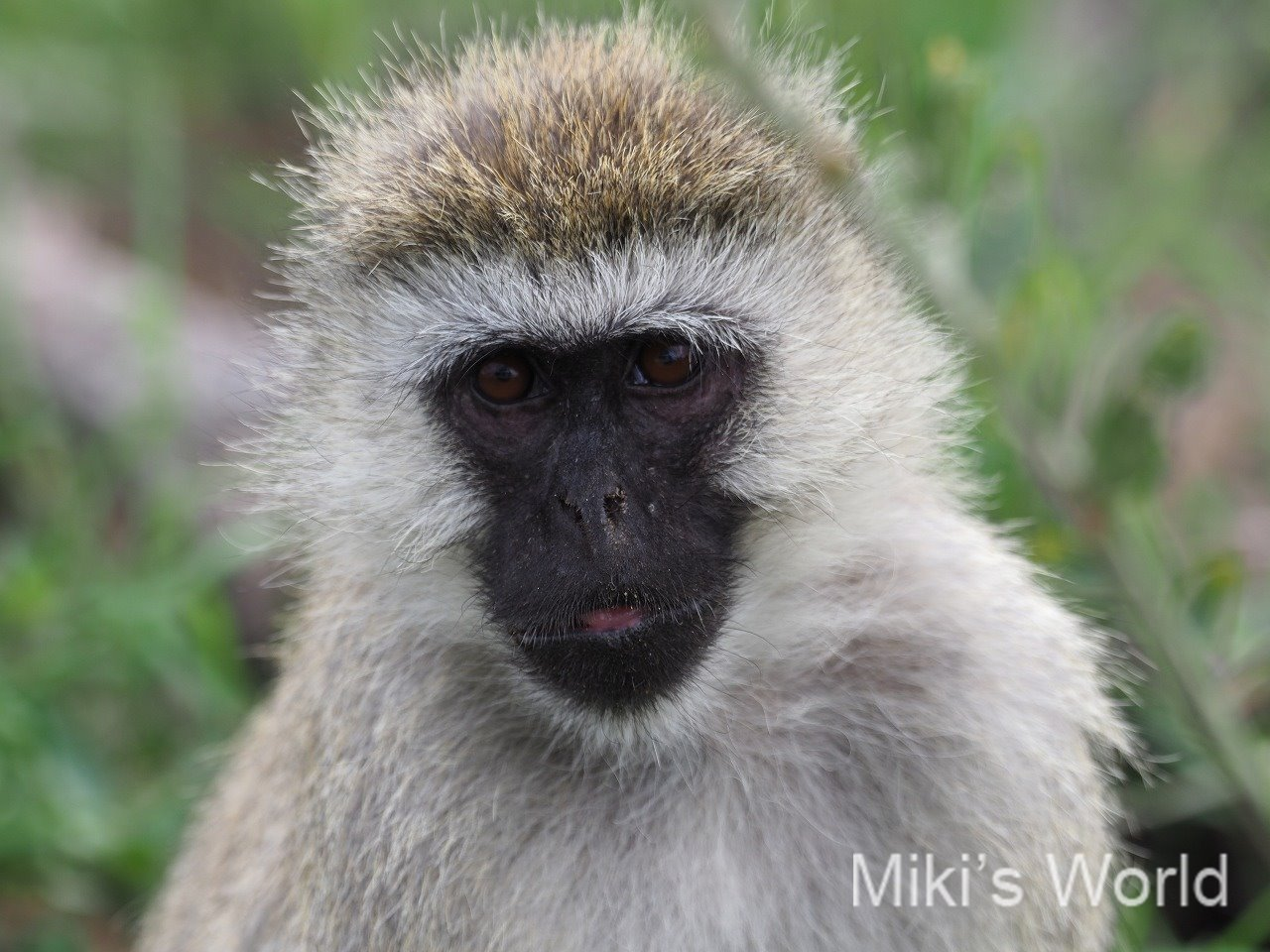 気ままに写真集 タンザニア ンゴロンゴロ自然保護区 その2