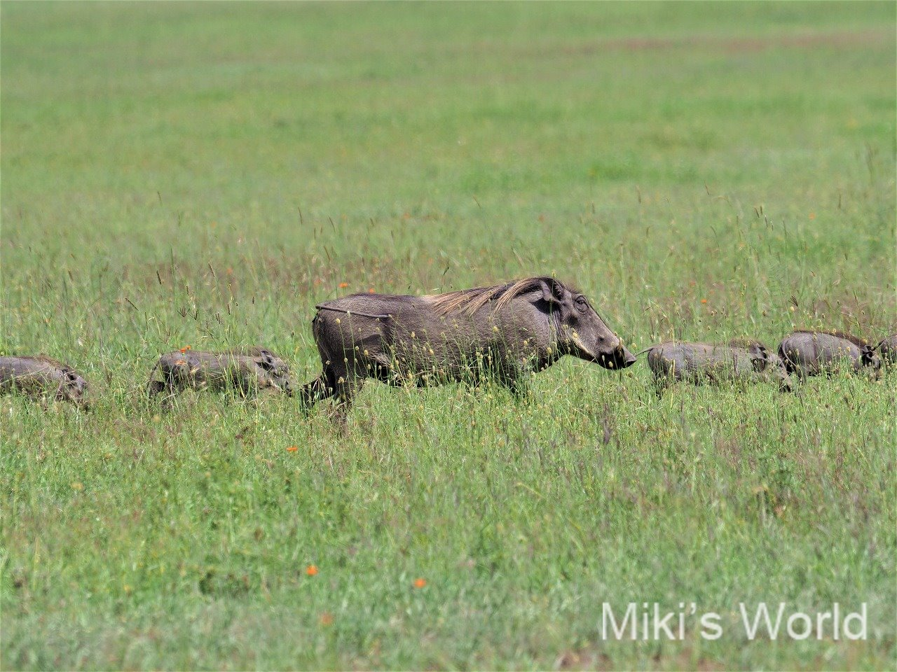 2019年亥年 平成最後のお正月 イボイノシシの親子 in タンザニア・セレンゲティ国立公園
