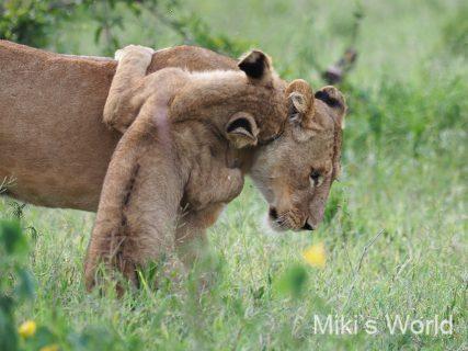 気ままに写真集 タンザニア ンゴロンゴロ自然保護区 その1