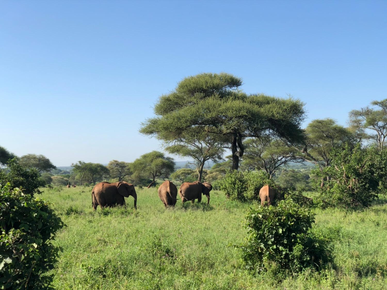 2019年1月31日 タランギーレ国立公園 アフリカゾウの大集結