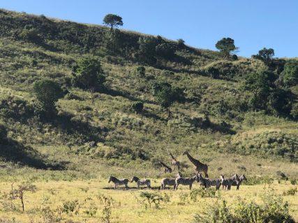 アルーシャ国立公園(Arusha National Park)  キリンとシロクロコロブス(Colobus guereza)