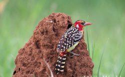ホオアカオナガゴシキドリ Red and yellow Barbet  タランギレ国立公園 Tarangire National Park で観察