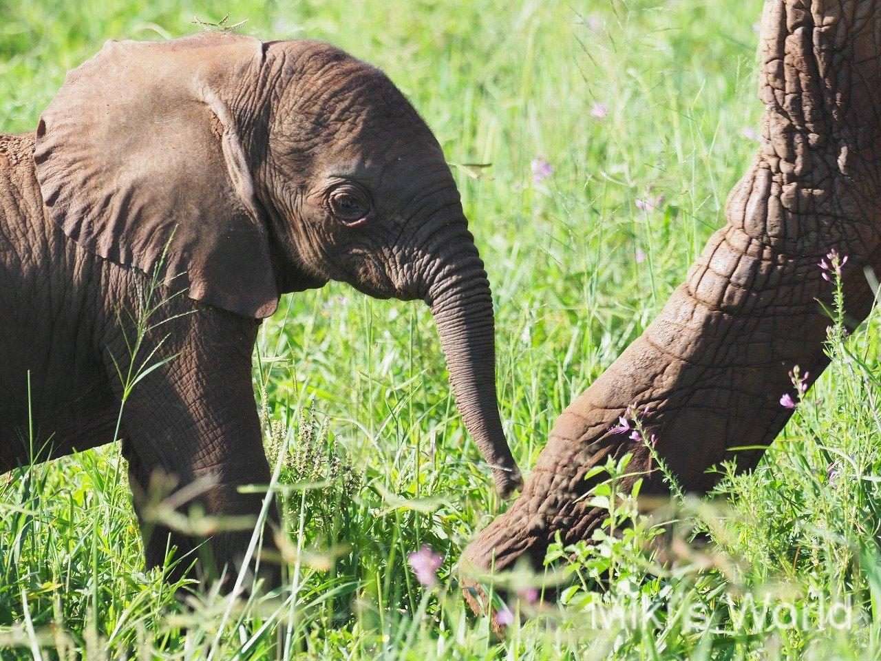 アフリカゾウの皮膚のひび割れは適応した結果 ナショナルジオグラフィック2019年3月号より