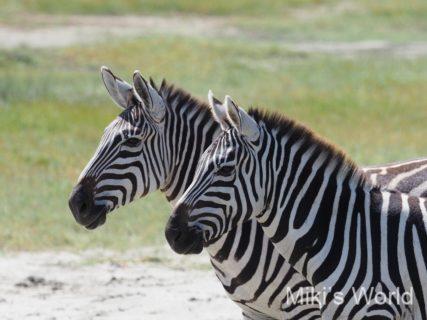 東アフリカ・タンザニアでサファリ ンゴロンゴロ自然保護区クレーター Ngorongoro Nature Reserve