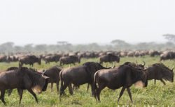 ヌー Wildbeests の魅力  ヌーの大移動 Migration セレンゲティ国立公園 ンドゥトゥで、2019年は観察