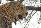 イボイノシシ(Wart Hog)の獲物を獲った後のヒョウ(Leopard)に遭遇 タンザニア(Tanzania) セレンゲティ国立公園 Leopard Serengeti National Park