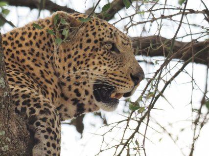 イボイノシシの獲物を獲った後のヒョウに遭遇 タンザニア セレンゲティ国立公園 Leopard Serengeti National Park