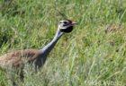 アフリカオオノガン  Kori Bustard の雄も頑張る! 久々のフルディスプレーに遭遇  Serengeti National Park