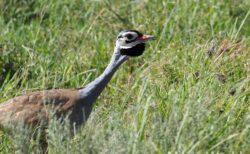 セネガルショウノガン White-bellied Bustard  ディスプレー  雄がむっちゃ頑張ります! Serengeti National Park