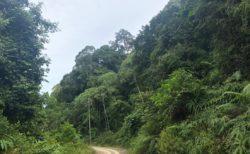 ボルネオ島(Borneo)の熱帯雨林 フタバガキ科(Dipterocarpaceae)の一斉開花 2019