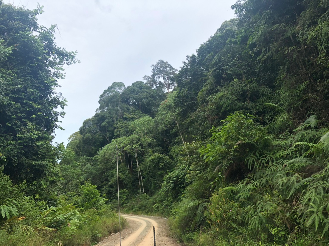 ボルネオ島の熱帯雨林 フタバガキ科の一斉開花 2019
