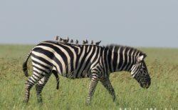 東アフリカ・タンザニアのサファリ セレンゲティ国立公園~マニヤラ湖へ from Serengeti National Park to Lake Manyara