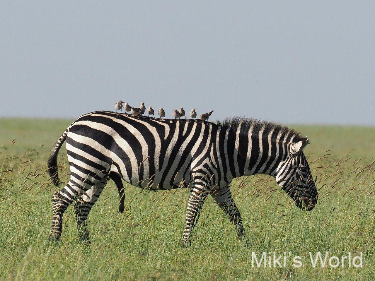 東アフリカ・タンザニアのサファリ セレンゲティ国立公園~マニヤラ湖へ