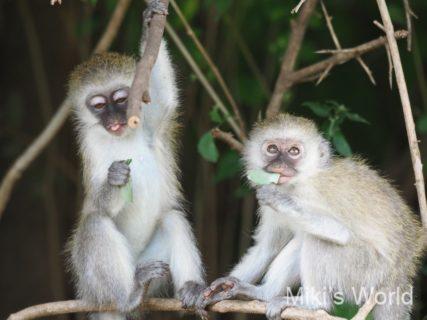 東アフリカ・タンザニア マニヤラ湖国立公園サファリの動物写真 Lake Manyara National Park