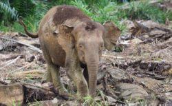 ボルネオ島(Borneo)のアジアゾウ アブラヤシ伐採地の跡地を横断
