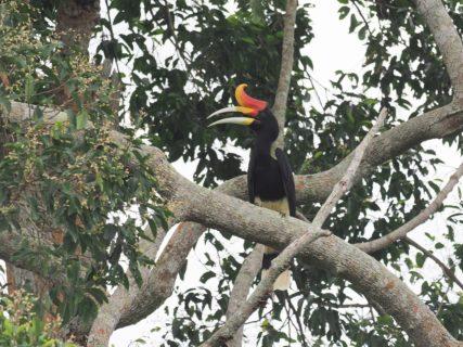 ボルネオ島(Borneo) レインフォレスト ディスカバリーセンター(RDC) サイチョウ(Rhinoceros Hornbill) 観察