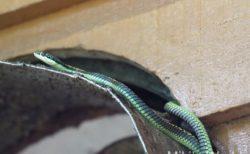 <閲覧注意>ヘビのヤモリの捕食シーン ガーデンフライングスネーク Garden Flying Snake ボルネオ島スカウ