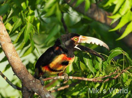 気ままに写真集 パナマで観察したカラフルな鳥 Birds of Pnama 2019年4月