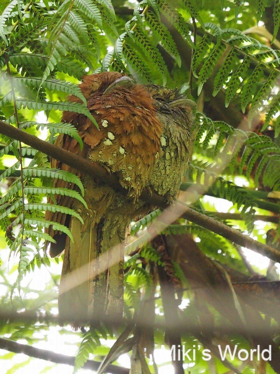 スリランカの鳥 セイロンガマグチヨタカ Sri Lanka Frogmouth