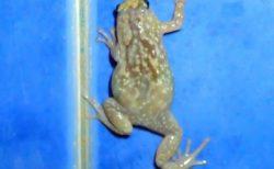 スリランカ 爬虫類と両生類 その4 カエル・トカゲ・カメ ※ヘビあり