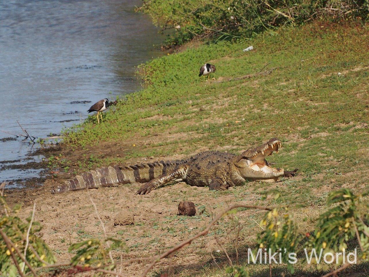 スリランカの爬虫類と両生類 その3 ワニ・トカゲ・カエル ※ヘビ無し