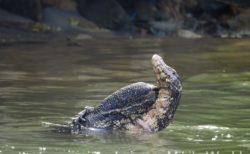 スリランカの爬虫類と両生類 トカゲ ヘビ カエル その1