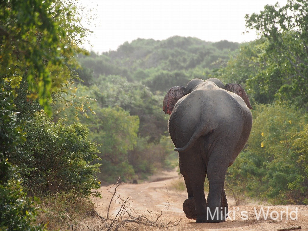 スリランカでサファリを真剣に楽しむ方法 ヤーラ国立公園のスリランカゾウ(Sri Lankan elephant)