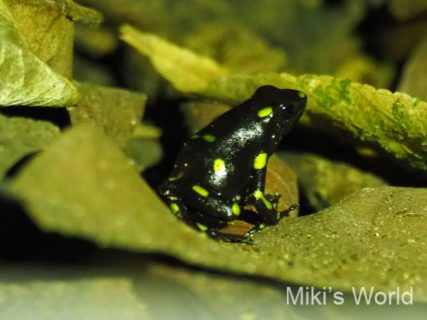気ままに写真集 パナマで観察 昆虫&ハ虫類&両生類と植物編