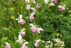 ニューファンドランド島のアツモリソウ Cypripedium reginae レギナエ