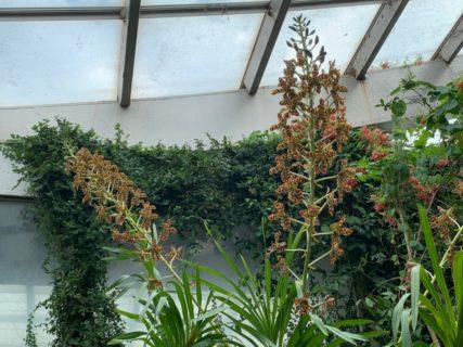 タイガーオーキッド 板橋区立 熱帯環境植物園  まだ満開です