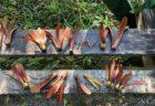 2019年ボルネオ・サバ州 フタバガキの一斉開花後の実が落ちる頃に訪れ、観察したこと 雑記