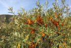 サジー 秋のモンゴルで自生の実を食べる