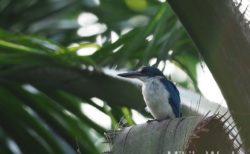 ボルネオ島 フタバガキの旅で出会った鳥