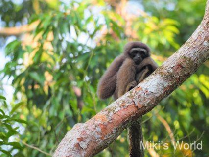 ボルネオ島 フタバガキの旅で出会った哺乳類 ベンガルヤマネコ ヒガシボルネオハイイロテナガザル キエリテン