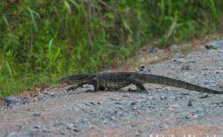 ボルネオ島 フタバガキの旅で出会った 両生類と爬虫類 雨季に行くとたくさん出会える