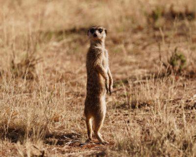 南アフリカ・キンバリー モカラ国立公園 ミーアキャット
