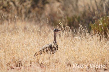 カンムリショウノガン Red-crested Korhaan 南アフリカ モカラ国立公園