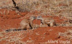 ケープアラゲジリス Southern African Ground Squirrel 南アフリカ・キンバリー