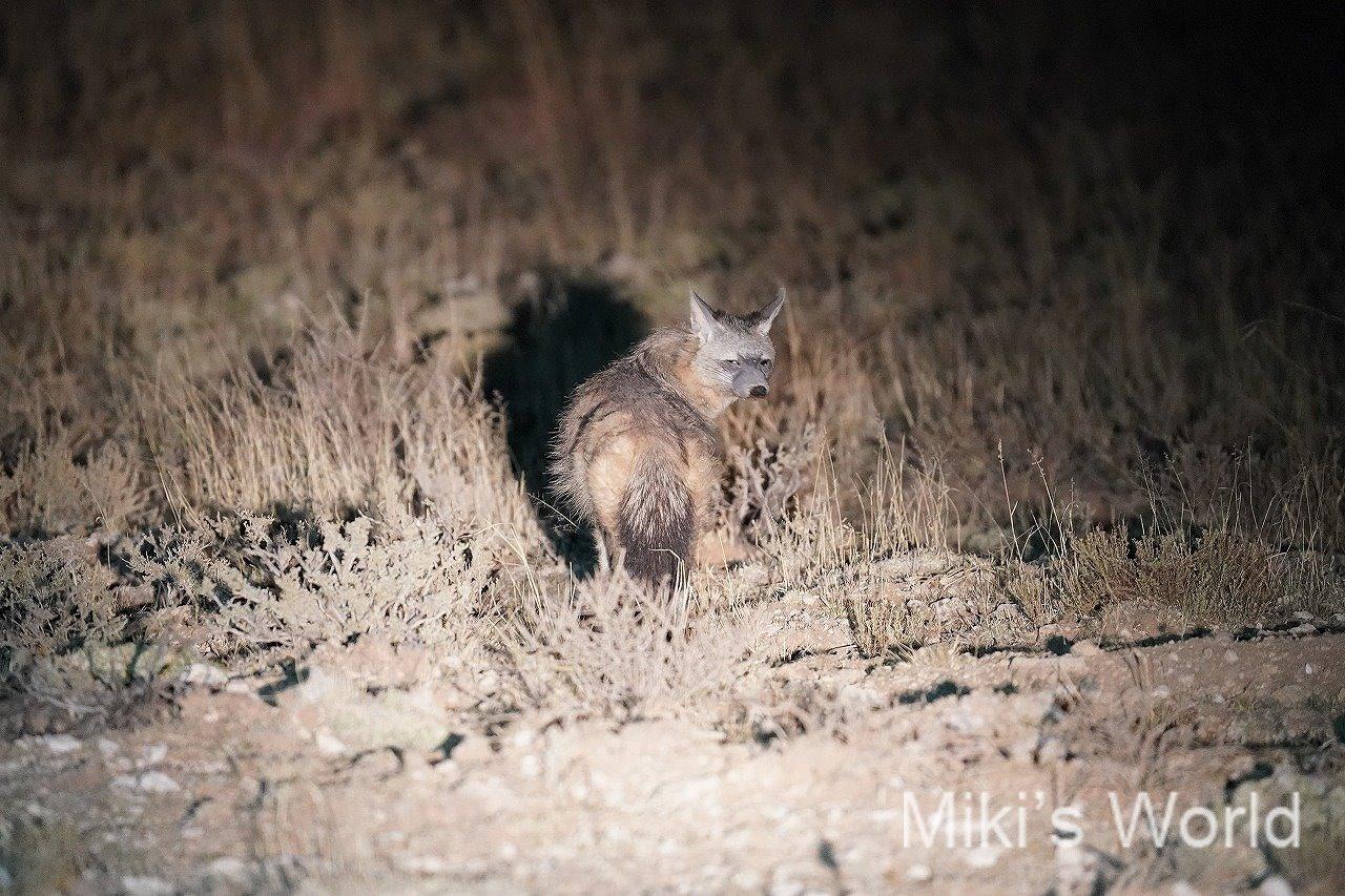 アードウルフ Aardwolf 南アフリカ・キンバリー