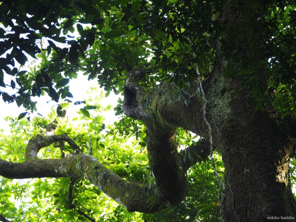 コンゴウインコ営巣中の樹